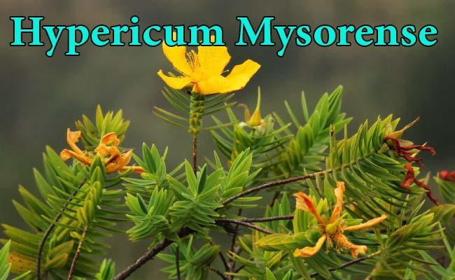 hypericum mysorense