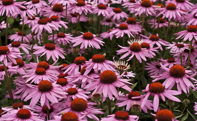 echinacea-for-herpes