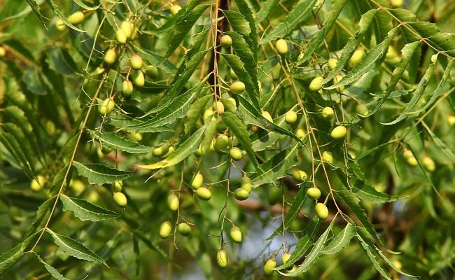 neem for herpes